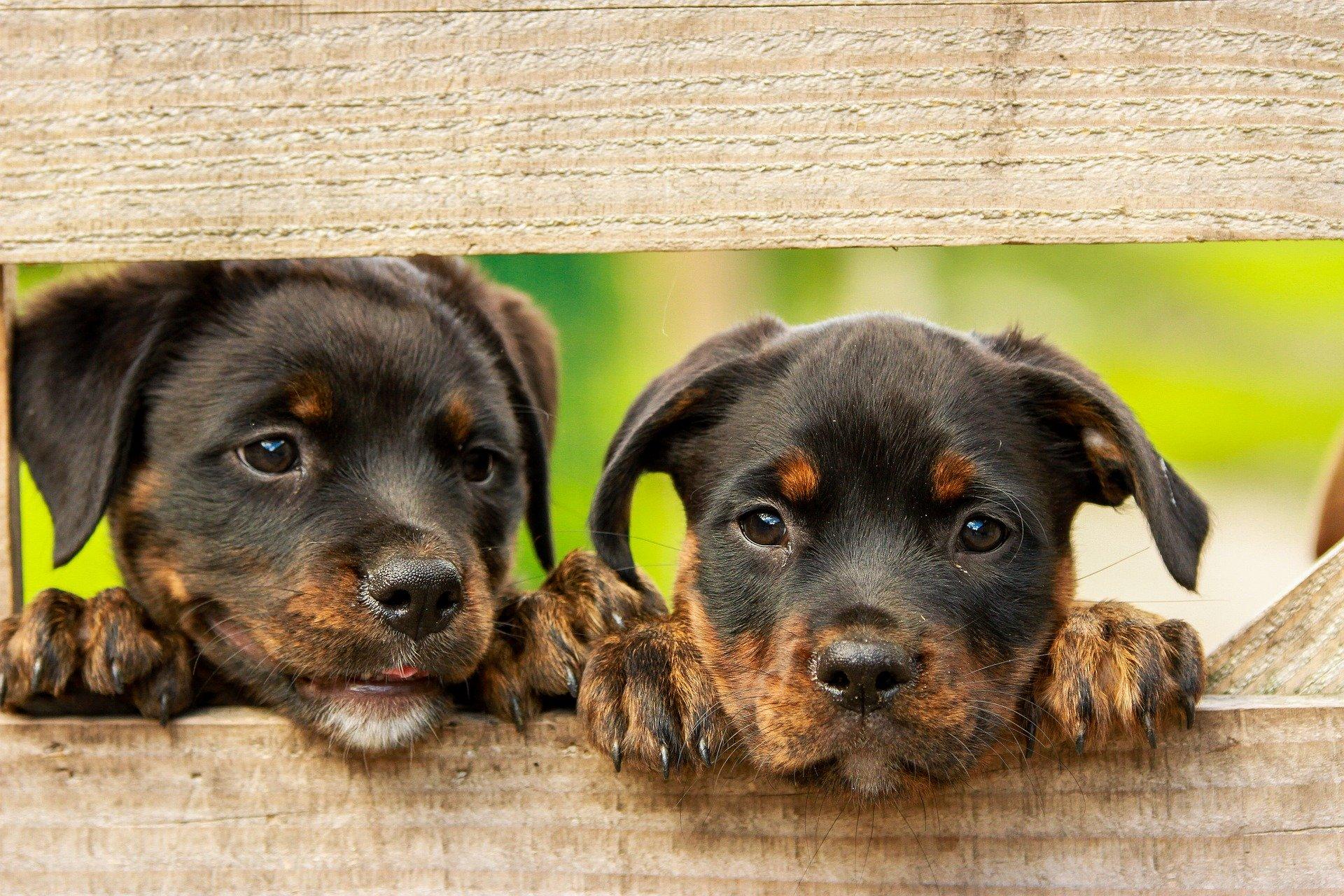 hundehvalpe kigger gennem hegn